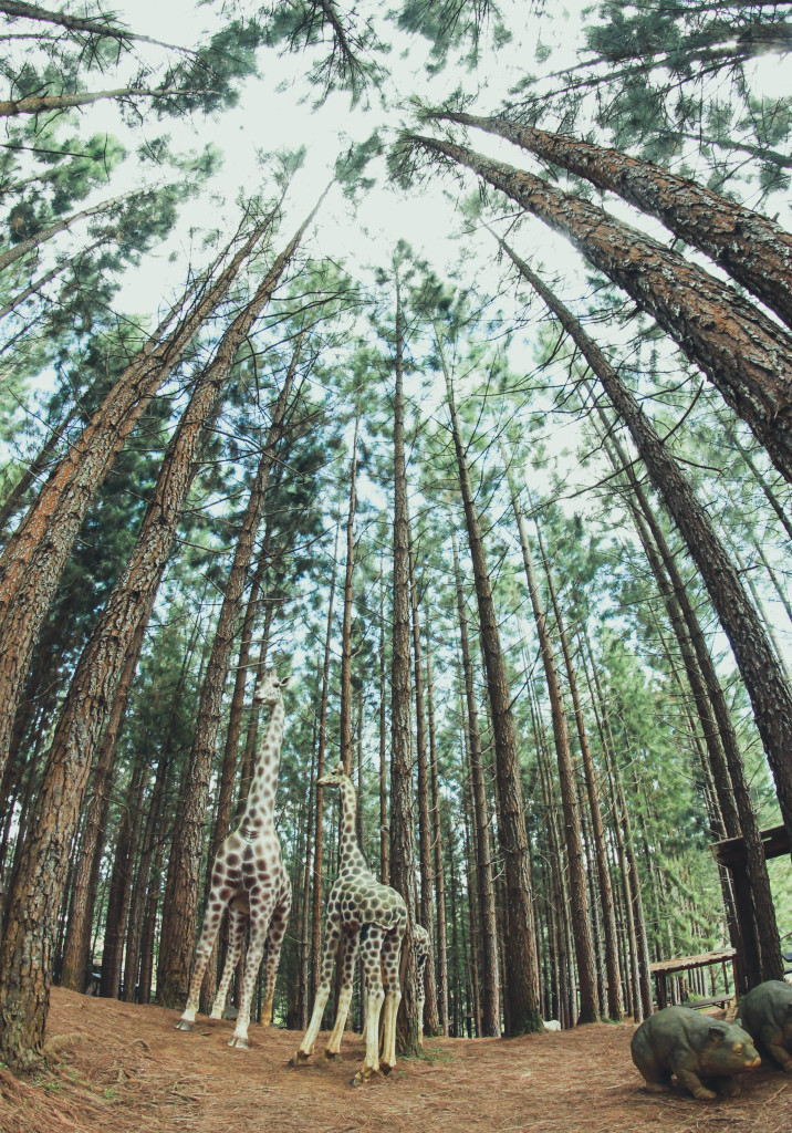 Pine trees taken at The Forest ParkDahilayan, Manolo Fortich, Bukidnon.