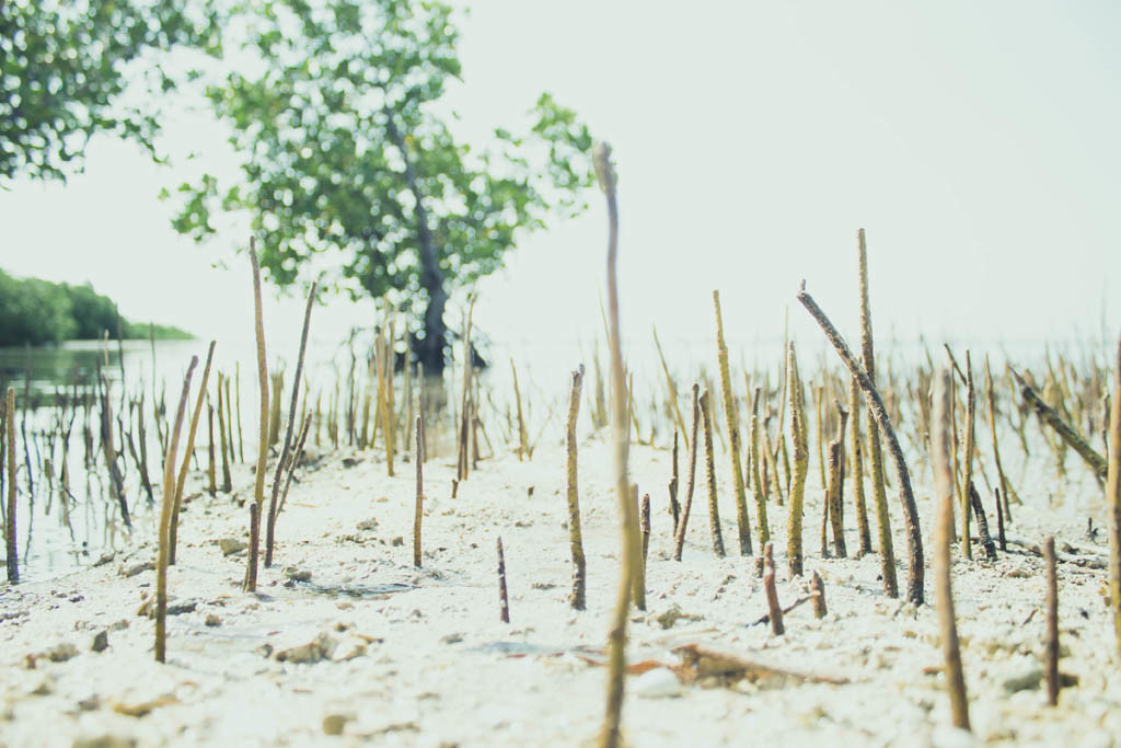 Newly planted mangroves found at the end of Olango Paradise shoreline.