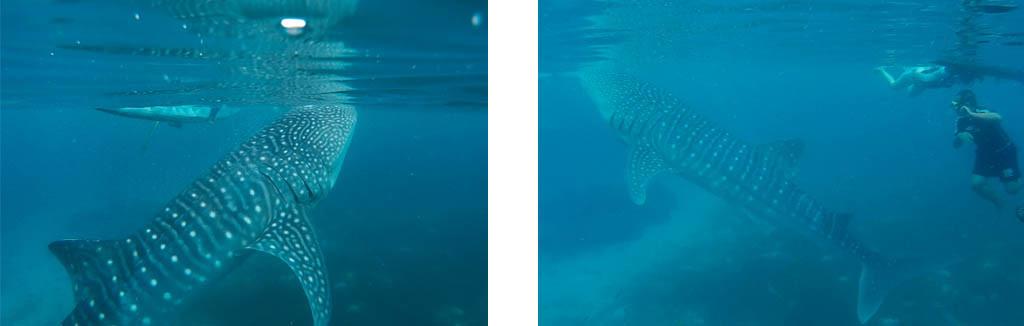 Humongous whale sharks