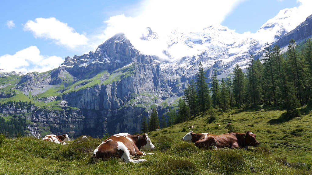 If you were a cow, would you be sad living here?